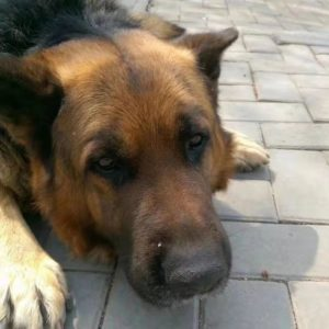dog meat traders steal dogs in china